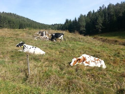 cows @Schwarzwald
