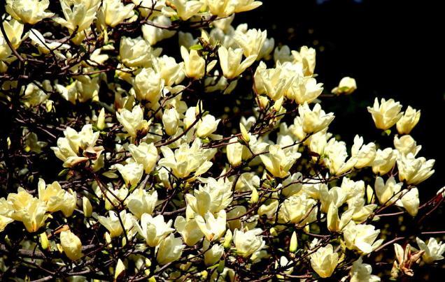 golden-magnolias-rosanne-jordan